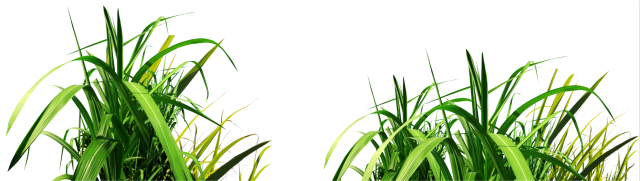Sugarcane Image